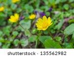 Lesser Celandine Flower In...
