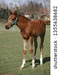 few weeks old colt live on a...   Shutterstock . vector #1355638682