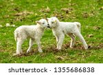 Lambs at lambing time.  Two young twin lambs nuzzling up to each other