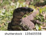 larger than a metre long goanna ... | Shutterstock . vector #135605558
