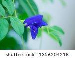 butterfly pea flower  clitoria... | Shutterstock . vector #1356204218