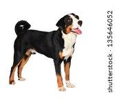 sennenhund appenzeller tricolor ... | Shutterstock . vector #135646052