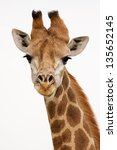 Giraffe On Isolated Background