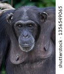 chimpanzee in its natural... | Shutterstock . vector #1356549065