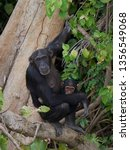 chimpanzee in its natural... | Shutterstock . vector #1356549068