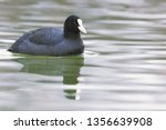 Coot Swimming  Fulica Atra ...