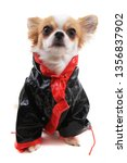 dressed chihuahua violka... | Shutterstock . vector #1356837902