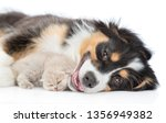 Stock photo adult australian shepherd dog sleep with baby kitten isolated on white background 1356949382