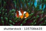 Beautiful Clown Fish Nemo In...