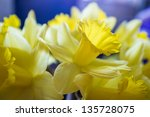 Easter Daffodils Close Up On...