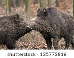 Two Boars' Fight