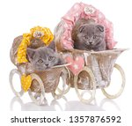 Stock photo scottish straight and scottish fold kittens two kittens in decorative strollers purebred kittens 1357876592