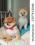 Stock photo two adorable pomeranian dog small animal in home cute pet grooming face round short hairstyle 1357913048
