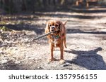 playful brown dog with stick in ... | Shutterstock . vector #1357956155