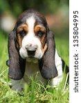 Adorable Puppy Of Basset Hound...