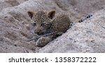 leopard cub plays in the sand ... | Shutterstock . vector #1358372222