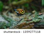 beautiful male of malayan...   Shutterstock . vector #1359277118
