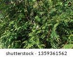 green christmas leaves of thuja ... | Shutterstock . vector #1359361562
