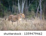 beautiful young adult lioness... | Shutterstock . vector #1359479462