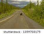 Black bear on the Robert Campbell highway in Yukon, Canada.