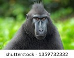 The Celebes Crested Macaque ....
