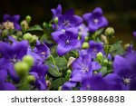 balloon flowers are blooming...   Shutterstock . vector #1359886838