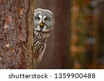 Portrait Of Great Grey Owl ...