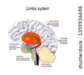 limbic system. cross section of ... | Shutterstock . vector #1359936698