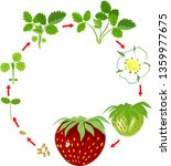 life cycle of strawberry. plant ...   Shutterstock .eps vector #1359977675