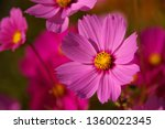 pink and white cosmos flower... | Shutterstock . vector #1360022345