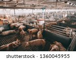 Lots Of Pigs In Animal Shed...