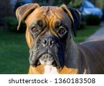 Boxer Dog Face. German Boxer O...