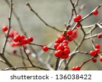 Red Berries Holly On Branches...