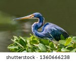 A Tricolored Heron  Formerly...