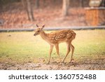 roe deer standing in the field...   Shutterstock . vector #1360752488