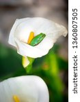 calla lily flower with frog...   Shutterstock . vector #1360807505