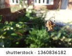 Closeup Brown Orb Spider On...