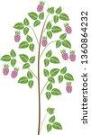 raspberry plant  floricane ...   Shutterstock .eps vector #1360864232