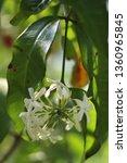 Jasmine Flower  Jasmine Is A...