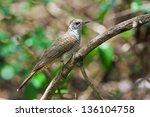 banded bay cuckoo | Shutterstock . vector #136104758