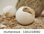 Stock photo cute portrait of baby africa spurred tortoise hatching birth of new life closeup of a small 1361218082