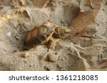 Stock photo cute portrait of baby africa spurred tortoise hatching birth of new life closeup of a small 1361218085