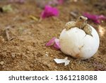 Stock photo cute portrait of baby africa spurred tortoise hatching birth of new life closeup of a small 1361218088