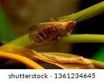 Small photo of Western tree cricket