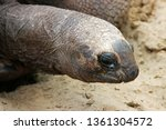 Stock photo galapagos tortoise head closeup april the largest living species of tortoise are native to 1361304572