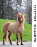 Miniature Shetland Pony  Adult...