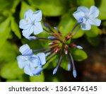 Pale Blue Plumbago Auriculata...