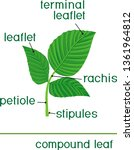 structure of green leaf of... | Shutterstock .eps vector #1361964812