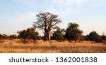 giant glencoe baobab tree in... | Shutterstock . vector #1362001838
