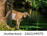 goat standing on the bank of... | Shutterstock . vector #1362149075
